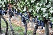 20 questions sur le vin : Qu'est-ce qu'un cépage ?
