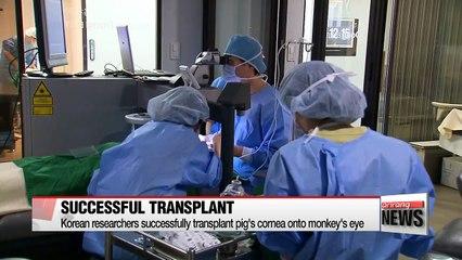 Korean researchers claim successful transplant of pig's cornea in a monkey