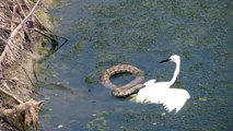Snake Attack on Sea Bird Seagull But Fail Watch Amazing Fight