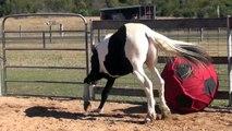 Ce cheval se fait un foot tout seul