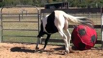 Ce cheval est un vrai fan de foot