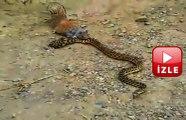 Sincap Yılan Kavgası #izle #belgesel #hayvan #yılan #sincap