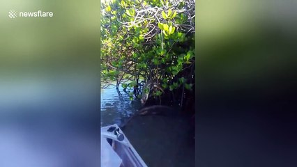 Good Samaritans rescue turtle stuck in mangrove tree branches