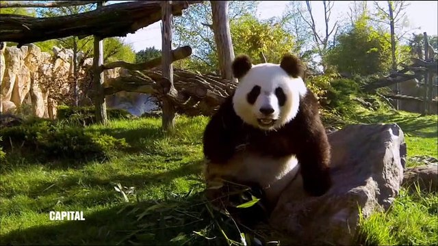 """Voici combien paye le zoo de Beauval à la Chine pour la """"location"""" des pandas géants - Regardez"""