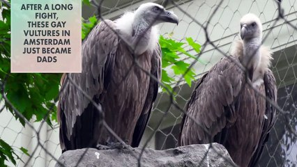 Amsterdam zoo's gay vultures remind us to celebrate Dad