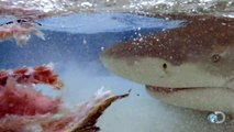SHARKS SWIM ON THE BEACH TO CAPTURE PREY - SHARK WEEK - Discovery Channel Sharks Animals Nature
