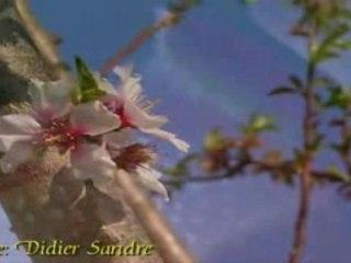 Fleurs d'amandier [1 sur 3]