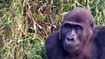 Gorillas - Tansy Aspinall And The Gorillas: Reunited At Last!