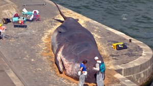 Parisians Find 'Beached Whale' On Banks Of Seine