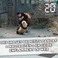 Des images de petits pandas «maltraités» en Chine enflamment le web
