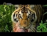 KILLER TIGERS OF INDIA - NATIONAL GEOGRAPHIC - Discovery Animals Nature Documentaries (full documentary)