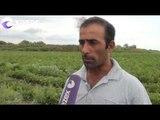 Pomidor sahələrində xəstəlik yayılıb - fermerlərə xeyli ziyan dəyib