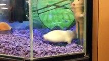 Un hamster en galère dans sa roue
