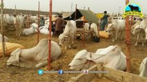 575 _ Awesome Cow mandi _ 2017 _ 2018 _ Karachi Sohrab Goth _ Qurbani Bull