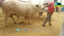 Amazing Bull Qurbani _ 2017 _ 2018 _ Qurbani in Karachi _ SURMAWALA CATTLE FARM 2017 _