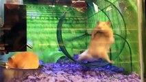 Un hamster se retrouve dans une situation délicate !