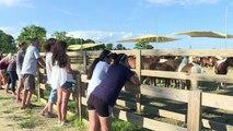 Chincoteague wild ponies make annual swim