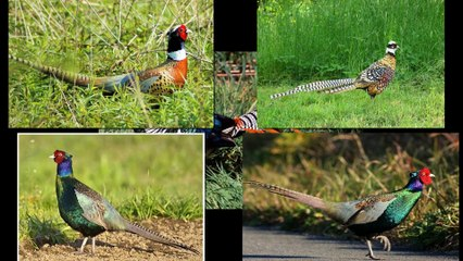 Top the most beautiful pheasant birds in the world !