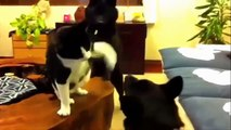 AFV Funny Cats and Dogs Fighting - Epic AFV Cats and Dog Fight TOP Videos Compilation