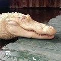 Ce crocodile est albinos.. complètement blanc !!