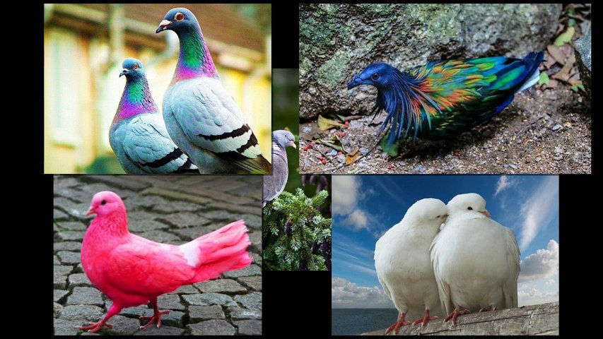 Beautiful pigeon birds - Icon of peace !