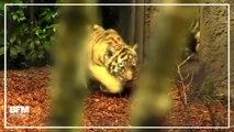 Ces quatre bébés tigres font leurs premiers pas au zoo de Hambourg