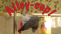 Acrobatic parrot performs difficult alley-oop maneuver