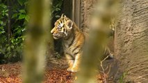Hamburg zoo welcomes four rare Siberian tiger cubs