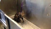 Elle lave son chat mais quand elle entend ce qu'il «dit», elle arrête tout et sort la caméra!!