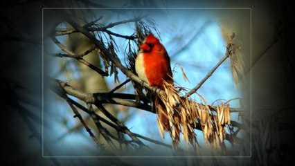 Top the best beautiful cardinal birds in the world !