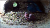 Live aus der Eisvogel Bruthoehle (3505)