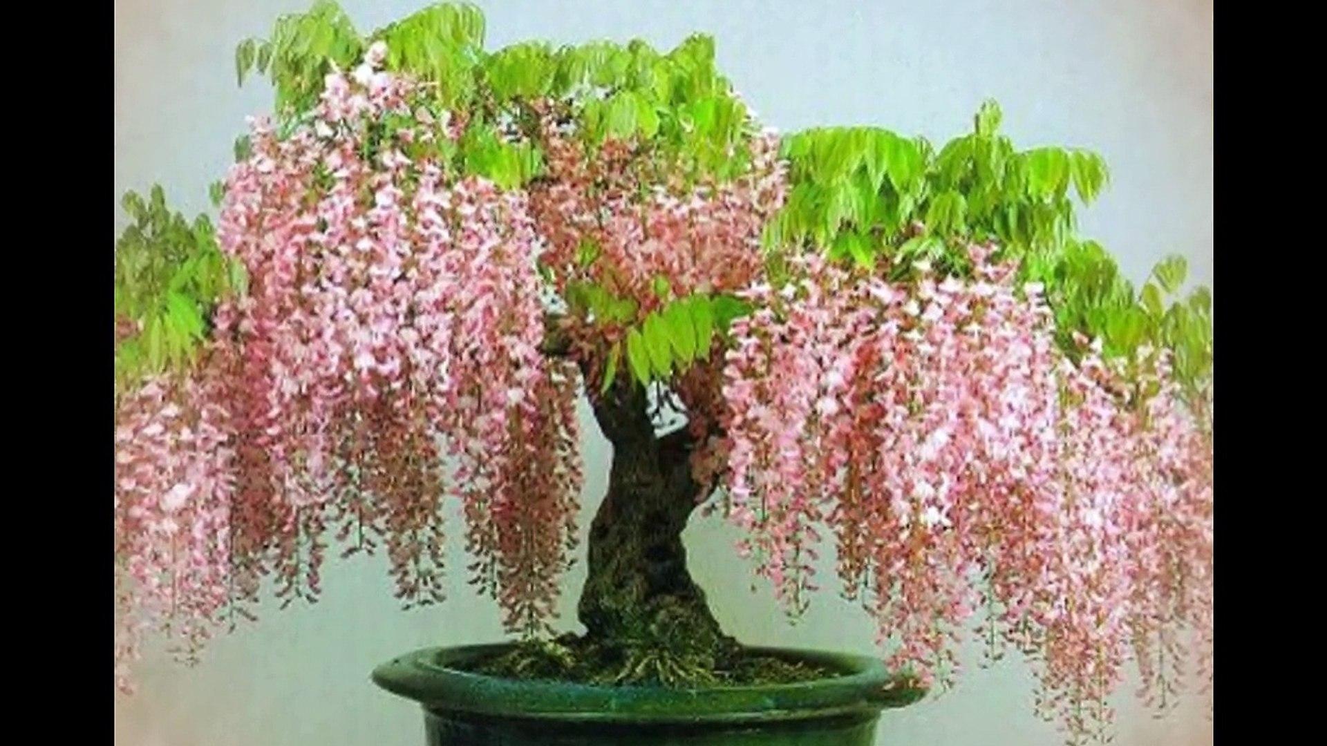 Blue Jacaranda Jacaranda Mimosifolia Or Wisteria Bonsai Tree Video Dailymotion