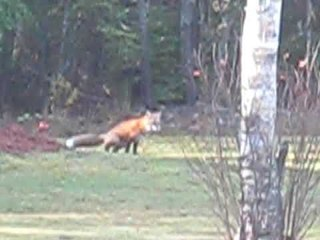 Wild foxes in Nova Scotia