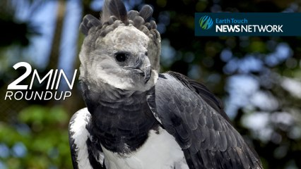 Harpy eagles, rare snakes & chimps in decline