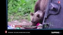 Roumanie : Des ours affamés dans les rues de la ville de Tusnad (vidéo)