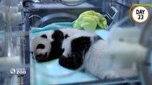 Les 100 premiers jours des bébés pandas