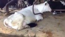 Un instrus s'incruste dans une ferme pour pomper le lait d'une vache !