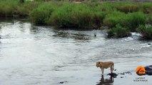Flagrante: Crocodilo ataca leão no momento em que atravessava o rio