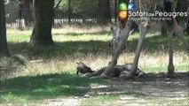 Carnet Rose : naissance d'un nouveau girafon au Safari de Peaugres