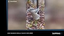 Une maman koala à la rescousse de son bébé (Vidéo)