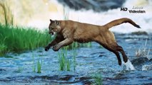 PUMA vs GRİZZLY BEAR ►► Real Fight Cougar Mountain Lion Jaguar Crocodile Caracal Animal At