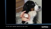 Un gros chien terrifié par… un hamster (Vidéo)