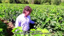 Discovering the differences between Cabernet Sauvignon, Carménère and Merlot leaves with Selgros
