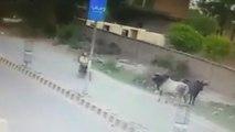 Une vache passe ses nerfs sur un motocycliste..