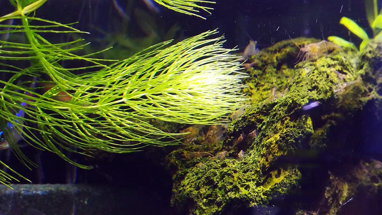 Freshwater shrimp babies_20170814
