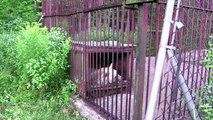 Pendant plus de 30 ans, cette ourse est restée captive, regardez maintenant sa réaction lorsqu'elle est enfin libérée..