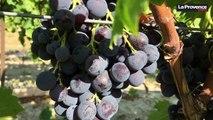 Vendanges dans le Vaucluse : le début de la récolte du raisin