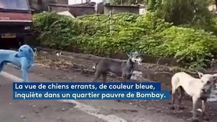 Près de Bombay, des chiens errants deviennent bleus à cause de la pollution