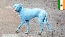 Anjing di India jadi berwarna biru karena limbah polutan berlebih di sungai - TomoNews