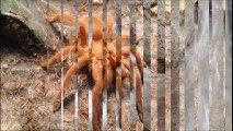 Cận cảnh 1 giờ đau khổ quằn quại lột xác của siêu nhện Tarantula